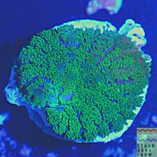 """New listing Saf~ """"Wysiwyg�Aussie Neon Green Rhodactis Mushroom Coral Frag, Shroom, Bounce"""
