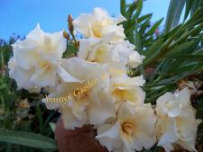 3 Kopfstecklinge des LUTEUM PLENUM ein Traum -der einzige gelb blühende Oleander