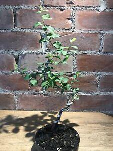 Blackthorn Bonsai Tree