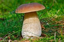 Seeds Porcini Mushroom Boletus Kit for Planting Mycelium Organic Russian Ukraine