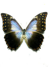morpho theseus neoescalantei  male! no repairs,unmounted