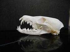 Taxidermy  real red Fox Skull animal art weird stuff  skeleton home  bar