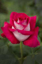 ANIS PERFUMELLA - 4lt Potted Hybrid Tea Garden Bush Rose - Stunning Pink/White