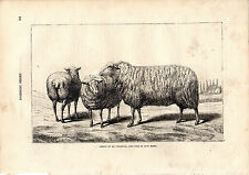 Cassell'S Mammals - Sheep Of La Chamois & Of Kent- 150 Years Old Wood Engraving