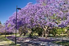 2 Frutos de Jacaranda (Jacaranda mimosifolia)