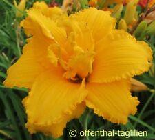 "Hemerocallis ""Condilla"" Taglilie"