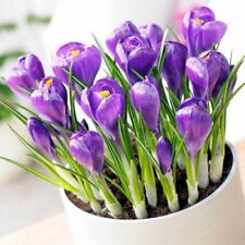 Saffron Bulbs, Purple Saffron Crocus Sativus flowers Bulbous Root Perennial DIY