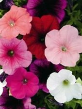 Kings Seeds - Petunia, Carnival Mixed F2 Hybrid -  225 Seeds