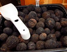 Black Walnut Seed