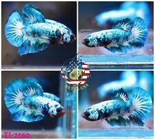 New listing [Ti-2560] Live Betta Fish High Quality Hmpk Male Blue Sky Galaxy Koi