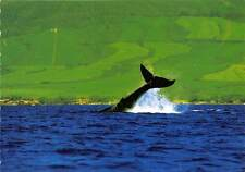 USA Hawaii Humpback Whale Tail Maui Coast