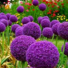 10x Zwiebeln ZIERLAUCH Allium Giganteum mit großer Blüte
