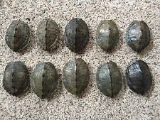 10 Real Turtle Shells - 4 - 5 inch Long - Map Turtle - Carapace Taxidermy