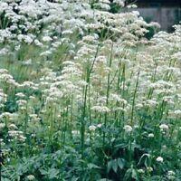 Valerian - Valeriana officinalis - 800 Seeds