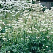 Valériane-Valeriana officinalis - 800 graines
