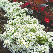 2500 Graines de Lobularia Maritima, Sweet Alyssum, Royal Carpet seeds