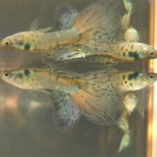New listing 2 Trio Nebula Steel Guppy 2-3 months old Beautiful colors/different lines