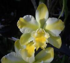 Blc Solar Flare 'Paradise', orchid plant