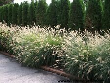 Foxtail/Fountain Grass Seeds Native Dried Flower Silver httpWeeping Flower Heads