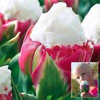 2PCS Yard Cabbage Rare Tulip Bulbs Aroma Tulip Plants Garden ( not a seed )