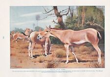 1910 NATURAL HISTORY PRINT DOUBLE SIDED INDIAN RHINOCEROS / WILD ASSES LYDEKKER