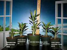 5 ADENIUM ARABICUM PLANTS DESERT ROSE THAI SOCO #J25 MKMK MAESTRO HN X GOLDEN CR