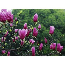 5Pcs Magnolia Denudata / Wilsonii Fragrant Flower Tree Seeds Garden View Decor