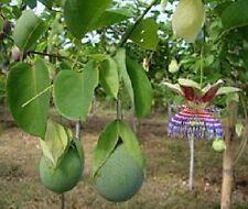 Passiflora maliformis,passion flower,essbare Früchte,edible,10 Samen, 10 seeds