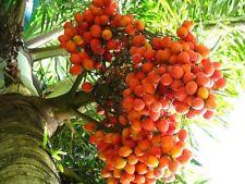 ~ FOXTAIL ~ PALM TREE 5 SEEDS FOR $4.40 ( WODYETIA BIFURCATA ) USA SELLER
