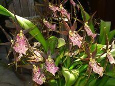 Seltene Orchideenarten orchidee Sämling - miltassia shelob