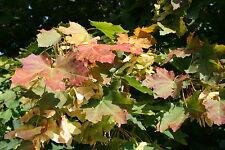 5 Spitzahorn Ahorn Acer platanoides 80 - 100 cm wurzelnackt