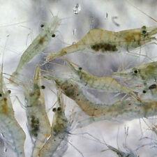 River Shrimp x 250 Aprox