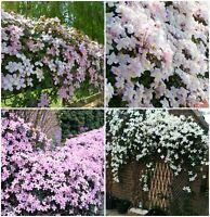 4 x Clematis Montana Mixed Plug Plants Climbing Vine Flowering shrub