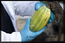 01 Whole Cocoa pod -Theobroma cacao -EXOTIC TROPICAL  Live viable seeds Inside