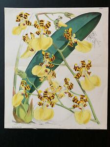 Curtis's Bot Magazine; Double Page #5878, Oncidium tigrinum var spendidum, 1871