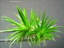 Eriocaulon cinereum / sp. Goias - Rarität!  Aquarienpflanze ,  eine Augenweide