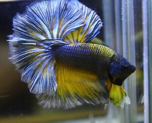 <Have video> BETTA FISH BLUE YELLOW ROSE TAIL OVER HALFMOON (OHM) MALE