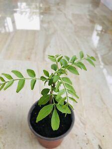 curry leaf plant Mature