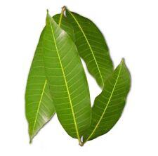 New listing 40 fresh mango leaves