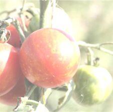 graines de tomate tigerella vendu en sachet de 30 graines procédé en culture bio