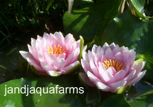 Pink Water Lily Fabiola Aquatic plants koi pond garden J&J Aquafarms
