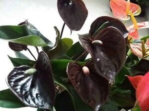 Coffe Anthurium Seeds 100% True Variety Rare Perennial Flower Bonsai Plants Pot
