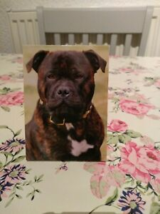 Staffordshire bull terrier brindle Note Pad
