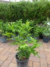 Plants Murraya Paniculata 200mm sized pots approx 40cm hgt   $7- ea GR8 hedging