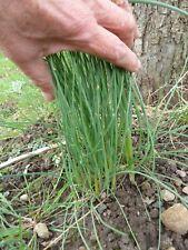 Graines  CIBOULETTE   rustique nature bio   Seeds  de France bio