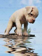 Chiot boxer water reflection photo fine art print poster BMP183B