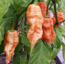 Peach Ghost Bhut Jolokia Chilli: 10 Rare Seeds - One of the Hottest in the World