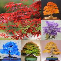 20pcs Blue Japanese Maple Tree Bonsai Seeds Acer Palmatum Atropurpureum Plant