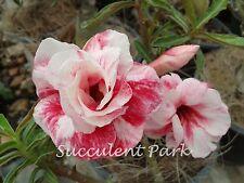 """Rosy Adenium Obesum (Desert Rose) """"Double Petunia"""" grafted plant"""