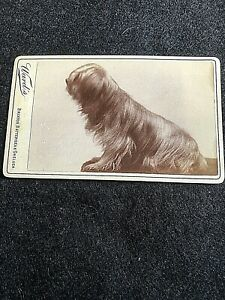 VICTORIAN CDV: LONG HAIRED SMALL DOG SITTING: WARD'S, BRIXTON